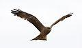 Yellow-billed kite, Milvus aegyptius, at Elephant Sands Lodge, Botswana (32129309081).jpg
