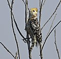 Yellow-crowned Woodpecker AMSM6713 YCWP.jpg
