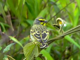 Yellow-fronted Canary.jpg
