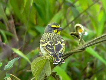Yellow-fronted Canary - Serinu mozambicus
