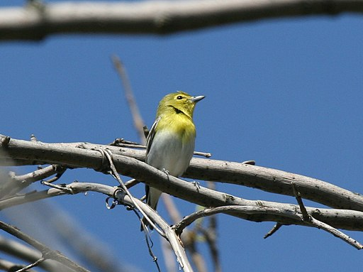 Yellow-throated Vireo (Vireo flavifrons) (5206241405)
