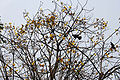 Yellow Silk Cotton (Cochlospermum religiosum) flowering canopy in Kolkata W IMG 4250.jpg