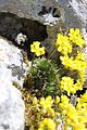 Yellow Whitlow-Grass - Draba aizoides (13866431245).jpg
