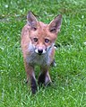 Young Fox 1 (7236332290).jpg