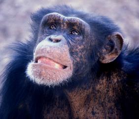 samiec szympansa
