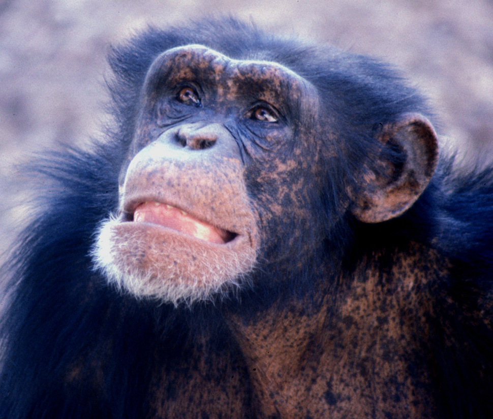 Young male chimp