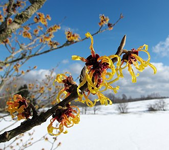 Marcescence - An image of a Witch Hazel flowering in winter which is not an example of marcescence.