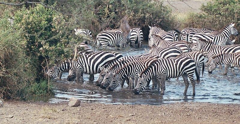 File:Zebras Serengeti.JPG