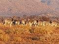 Zebras in the Wild (Unsplash ZqGx4YoDrIE).jpg