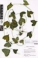 Zehneria samoensis (A.Gray) Fosberg and Sachet (AM AK347039).jpg