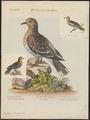 Zenaida leucoptera - 1700-1880 - Print - Iconographia Zoologica - Special Collections University of Amsterdam - UBA01 IZ15600453.tif