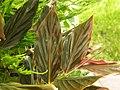 Zingiber 'Midnight' Leaf 3264px.jpg