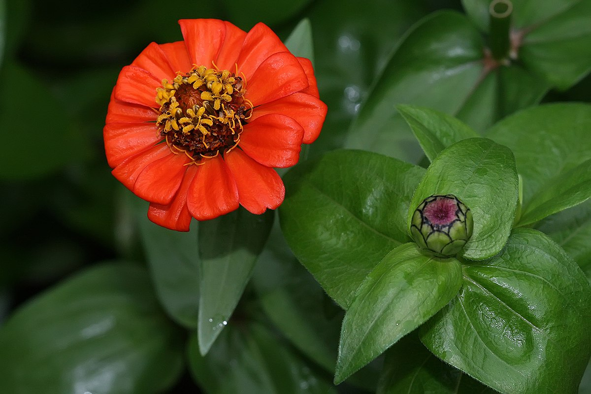 zinnia  wikipedia, Natural flower