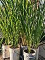Zizania latifolia in cultivation.jpg