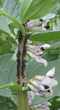 La FAO aconseja comer insectos para combatir el hambre en el mundo - Página 2 200px-Zwarte_bonenluis_Tuinboon