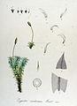 Zygodon viridissimus — Flora Batava — Volume v14.jpg