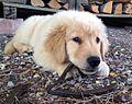 """15 - ITALY - Un cucciolo di golden retriver americano.jpg"