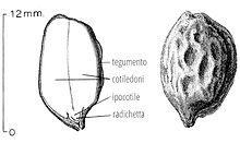 Schema descrittivo del seme di jojoba in sezione