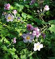 'Anemone hupehensis' cultivar Capel Manor Gardens Enfield London England.jpg