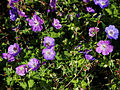 'Geranium pratense Mrs Kendall Clarke' Capel Manor College Gardens Enfield London England.jpg