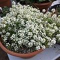 'Giga White' alyssum IMG 5040.jpg