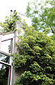 'Hydrangea anomala subsp. petiolaris' climber Gibberd Garden Essex England.JPG