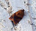 (0985) Cacoecimorpha pronubana - Flickr - Bennyboymothman (1).jpg