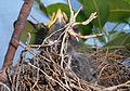 (1)Noisy miner nest 004.jpg