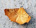 (1911) Large Thorn (Ennomos autumnaria) - Flickr - Bennyboymothman (1).jpg