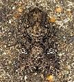 (2154) Cabbage Moth (Mamestra brassicae) (6014948674).jpg
