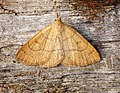 (2494) Clay Fan-foot (Paracolax tristalis) (28109318625).jpg