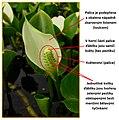 Ďáblík bahenní (Calla palustris).jpg