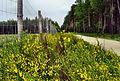 Żarnowiec miotlasty przy drodze - panoramio.jpg