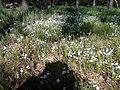 Апостоловский лес цветы.jpg