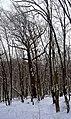 Дуби Рильського DSC 0128.jpg
