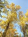 Полски ясен, есен.jpg