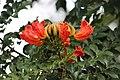Спатодея-(Spathodea-campanulata).jpg