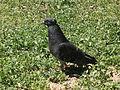 Холодногорский голубь.JPG