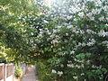 Цвіт малини, Севастополь.jpg