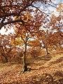 Цер, есен.jpg