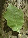 Червен дъб - стъбло и лист.jpg