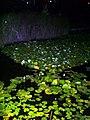 בריכת צמחי המים בחצות הלילה השילוב בין השחור לירוק עושה את התמונה מלאת חיים.jpg