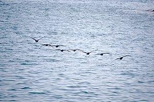رفتار مرغان دریایی نوروزی یا یاعو در کشور عمان، شهر مسقط، ساحل دریای عمان - عکس مصطفی معراجی 11.jpg