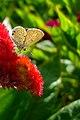 عکس پروانه، بر روی گل تاج خروس-بوستان هاشمی قم.jpg