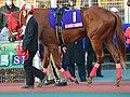 「第39回東京2歳優駿牝馬」でパドックを周回している1番ワカチナ(2015年12月31日).JPG