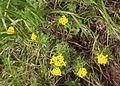 イワインチン Chrysanthemum rupestre.jpg