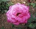 中國古老月季-牡丹月季 Rosa chinensis -深圳人民公園 Shenzhen Renmin Park, China- (32797367036).jpg