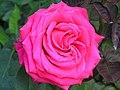 北播磨余暇村公園のバラ「千代HT」P6023030千代HT.JPG