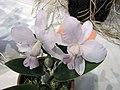 卡特蘭屬 Cattleya walkeriana v coerulea -香港沙田國蘭展 Shatin Orchid Show, Hong Kong- (9200883680).jpg