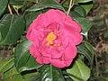 怒江山茶雜交-期望 Camellia x williamsii 'Anticipation' -香港動植物公園 Hong Kong Botanical Garden- (9207629442).jpg